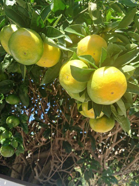 調理で出る生ごみを再利用した循環型家庭菜園の例。裏庭で大量に採れるミカンの写真